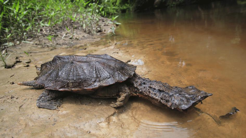 Mata-mata turtles