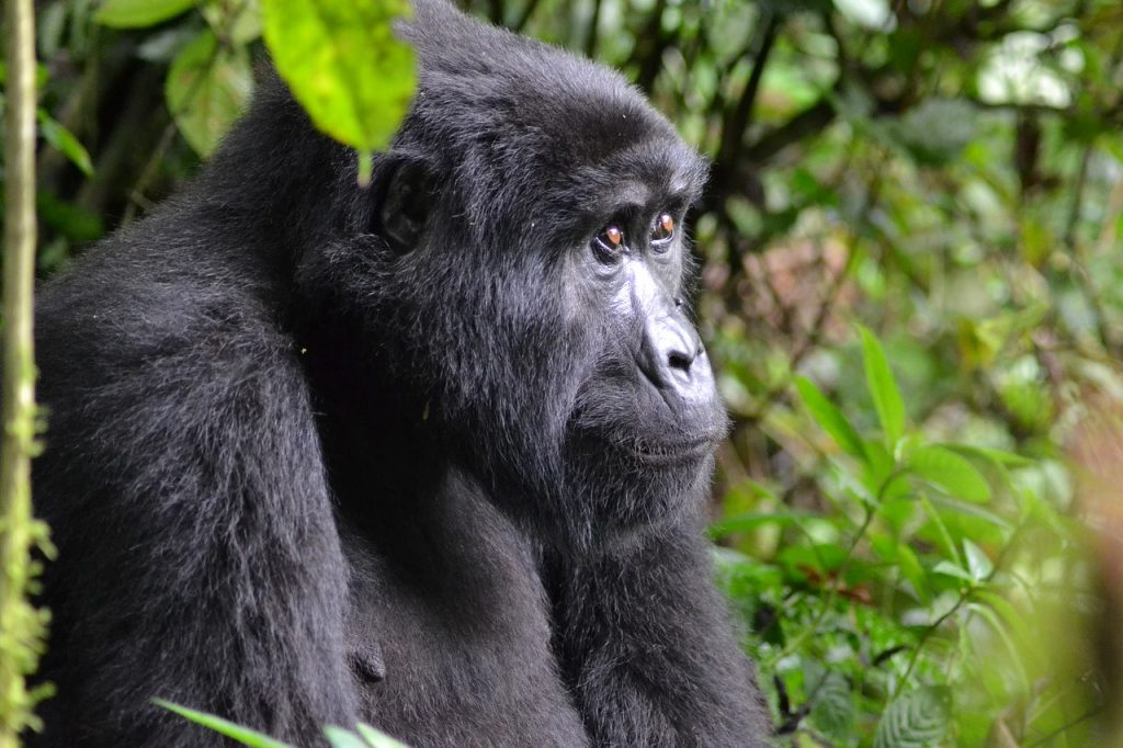 Mountain Gorillas rainforest animals