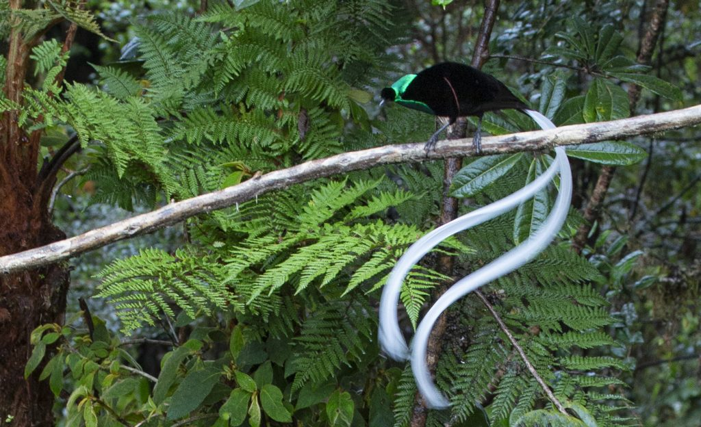 Ribbon tailed Astrapia Bird of Paradise Papua New Guinea