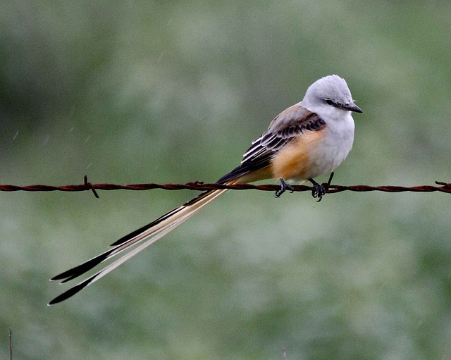 Scissor tailed flycatcher birds