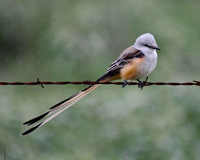 Scissor tailed flycatcher birds