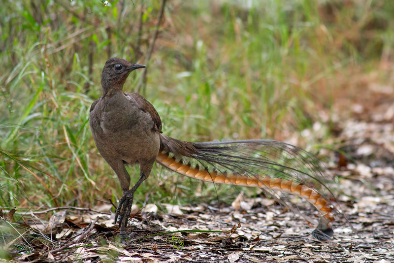 Superb lyrebird birds