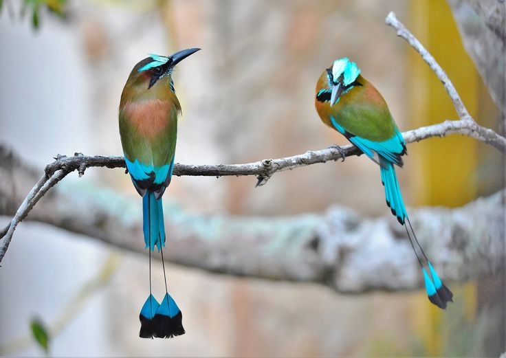 Turquoise browed motmot birds with long tails