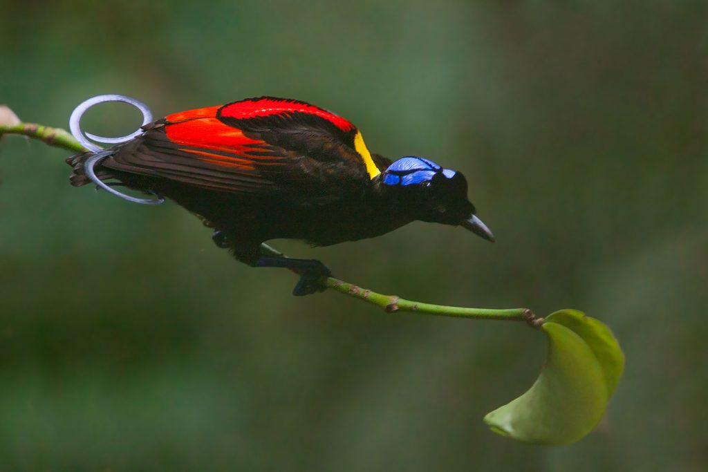 Wilson's bird of paradise