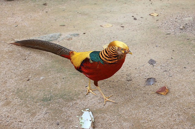 red golden pheasants birds with long tails