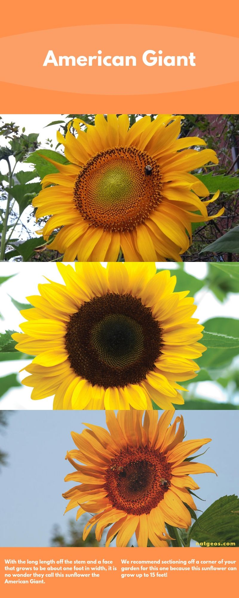 With the long length off the stem and a face that grows to be about one foot in width, it is no wonder they call this sunflower the American Giant.