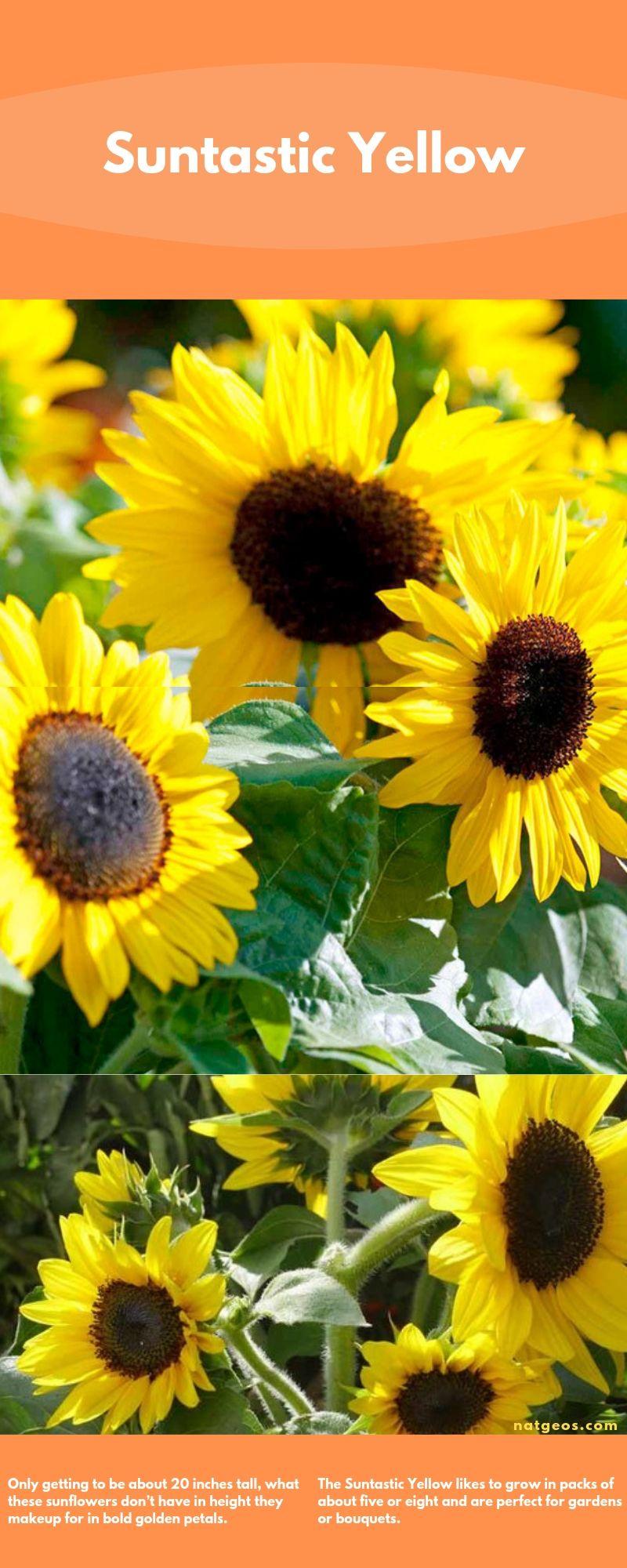 Suntastic Yellow