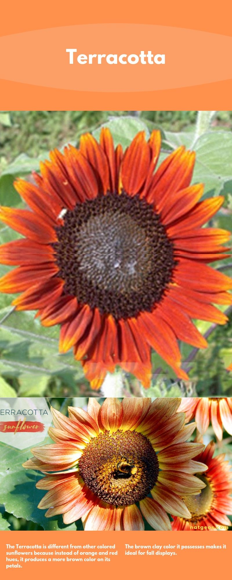 Types of Sunflowers; Terracotta