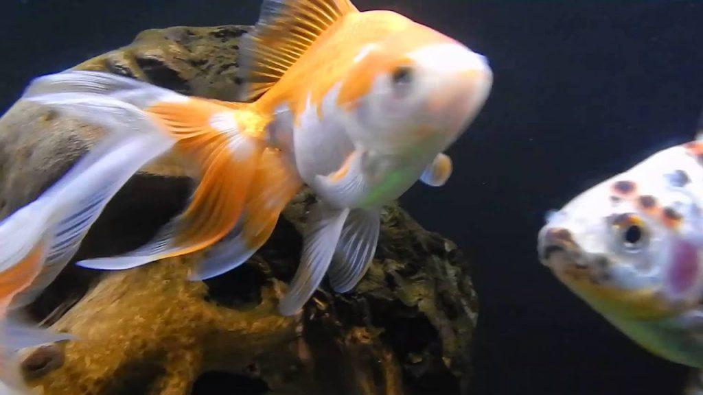 Fantail Goldfish, Show Goldfish, Fancy Goldfish