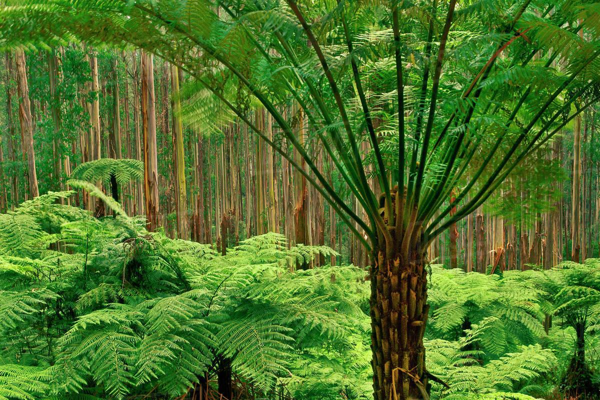 Australia tree fern
