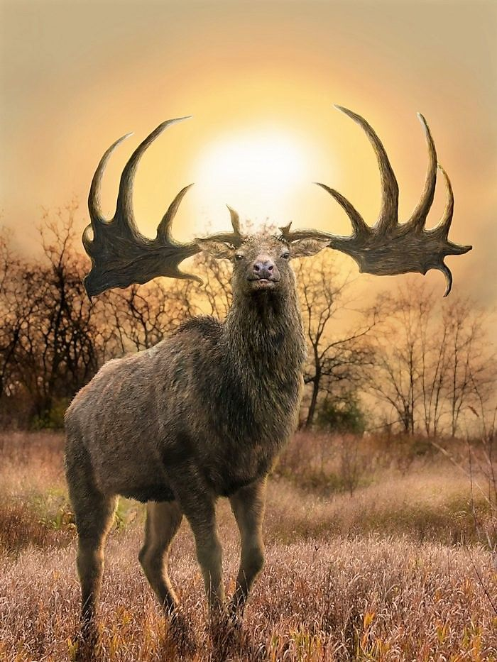 Irish elk (Megalanceras giganteus)