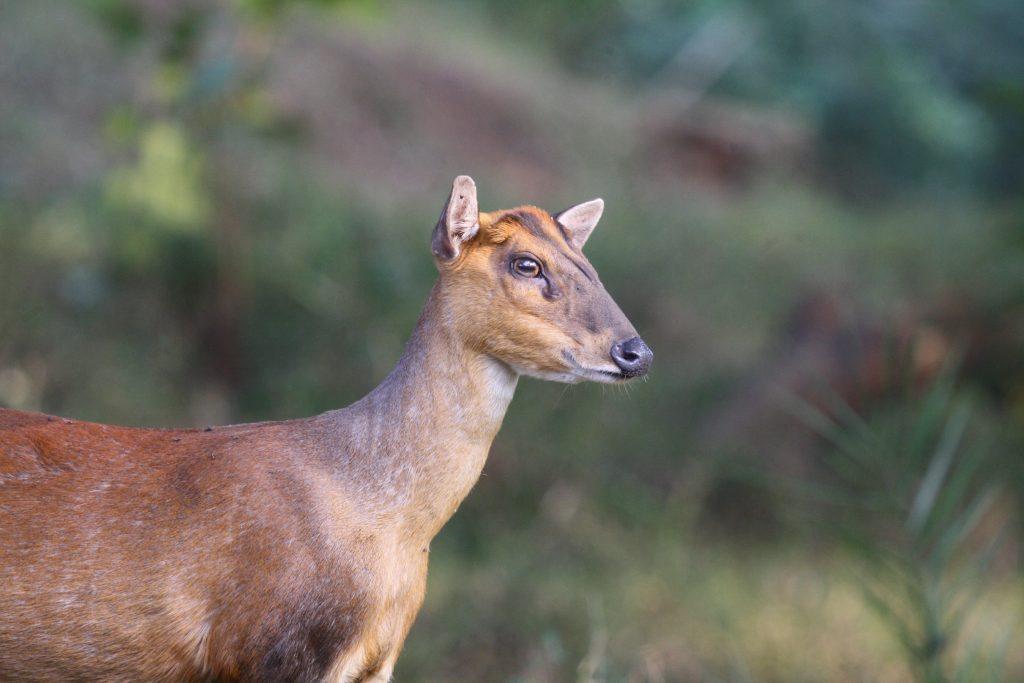 Muntjac or barking deer (Muntiacus)