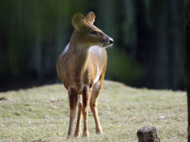 Water deer (Hydropotes inermis)