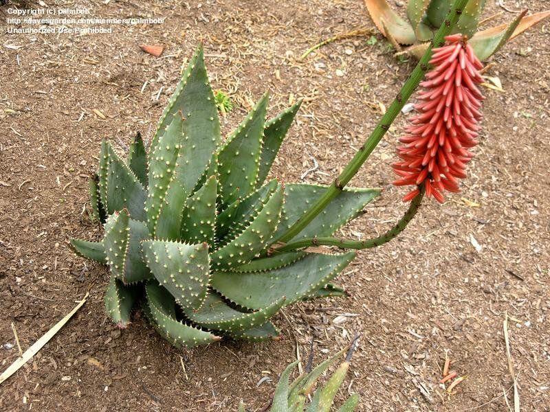 "Aloe aculeata ""prickly aloe"" plants"