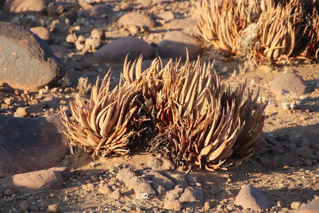 Aloe argenticauda plants