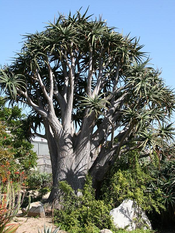"Aloe barberae ""tree aloe"""
