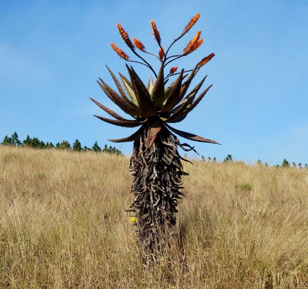 """Aloe marlothii """"mountain aloe"""""""