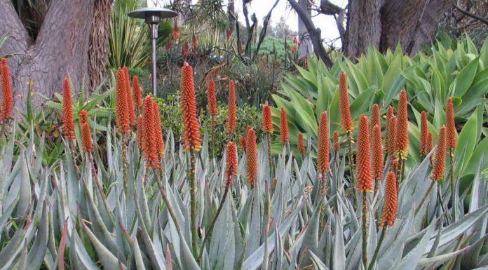Types of Aloe Plants