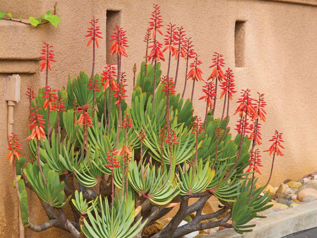 """Aloe plicatilis """"fan aloe"""""""