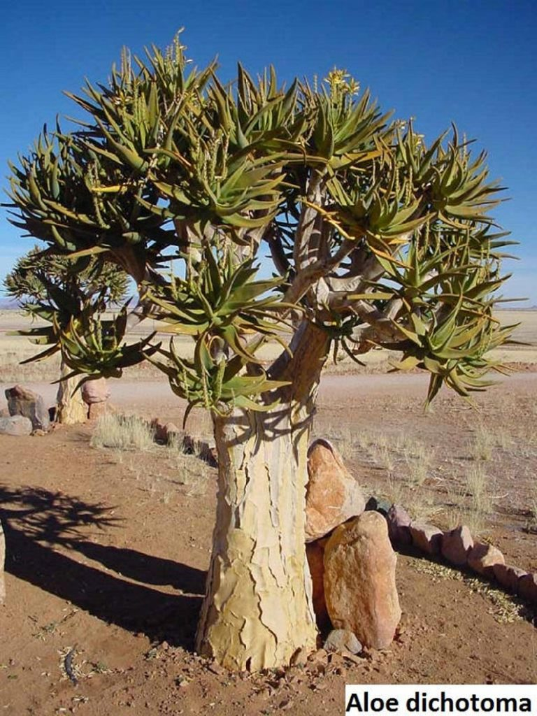 "Aloe polyphylla ""spiral aloe"""
