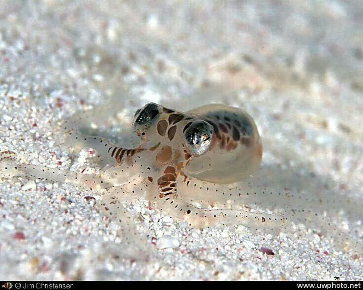 Atlantic pygmy octopus