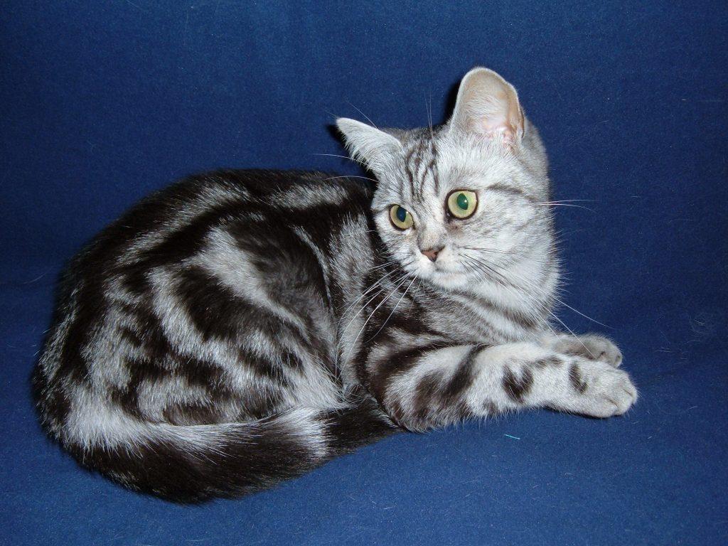 Blotched tabby cat