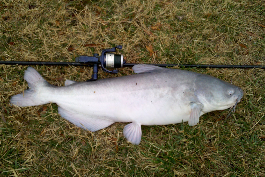 Blue catfish