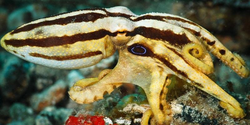 California two-spot octopus