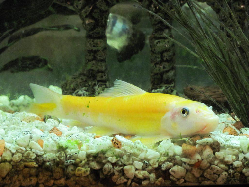 Golden Chinese algae eater catfish