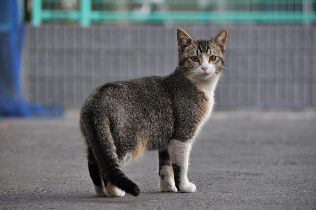 Ticked tabby cat with residual markings