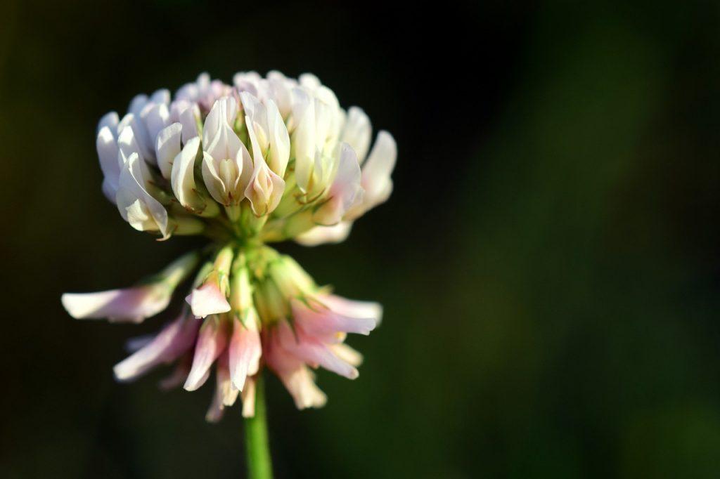 white clover types
