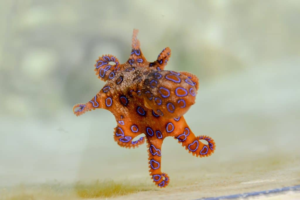 blue ringed octopus species
