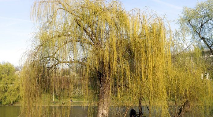 types of willow tree