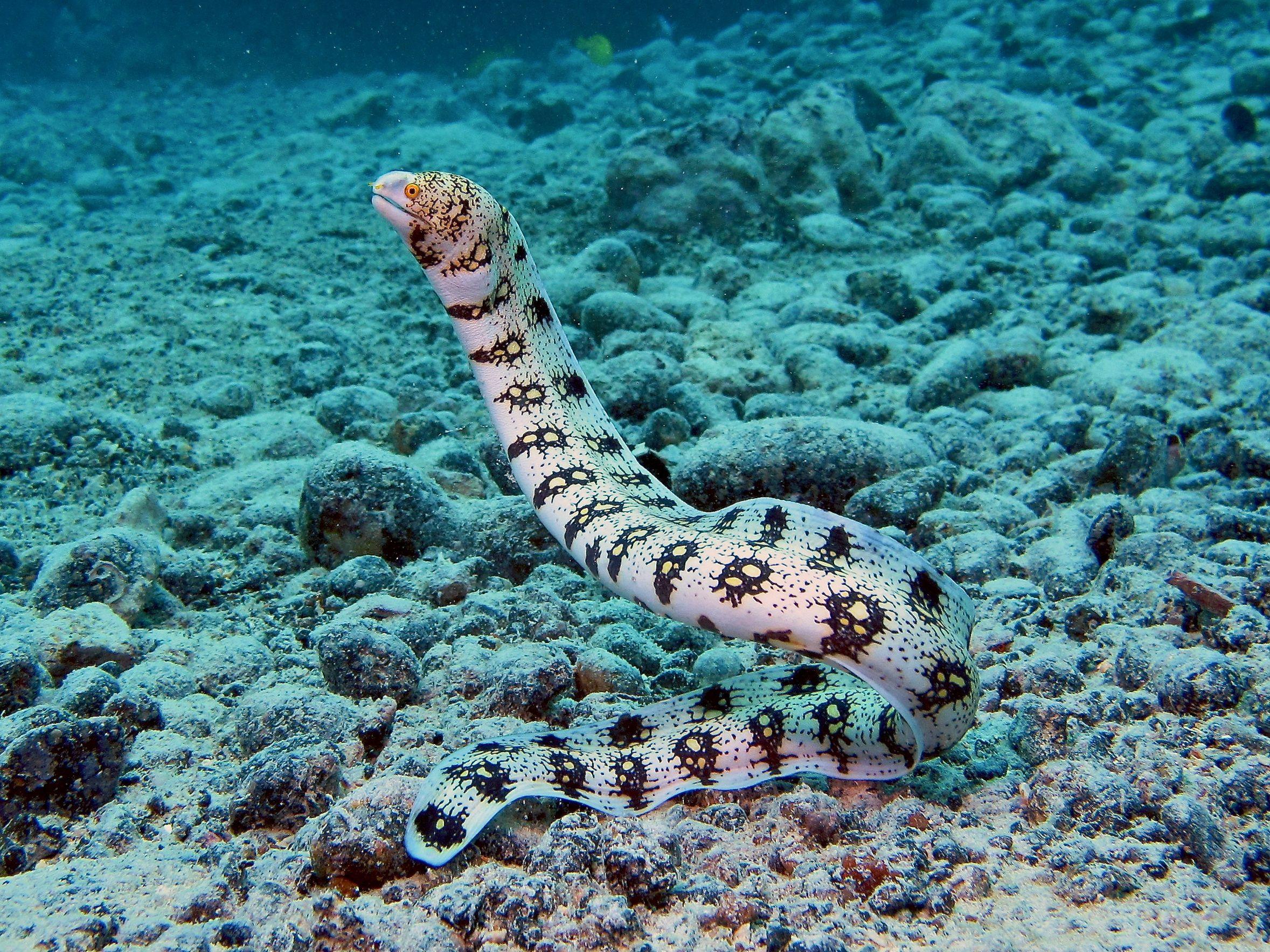 types of eels