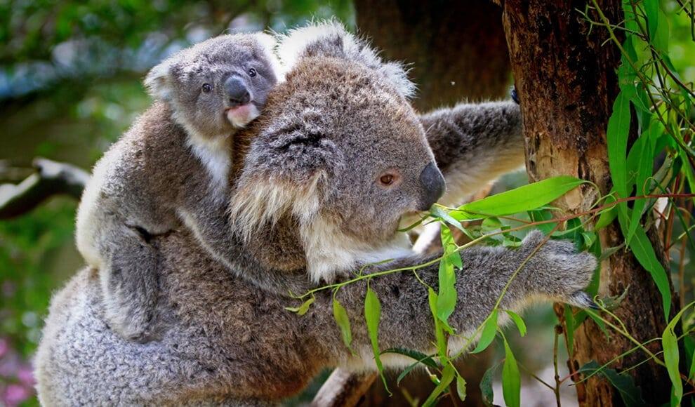 types of eucalyptus