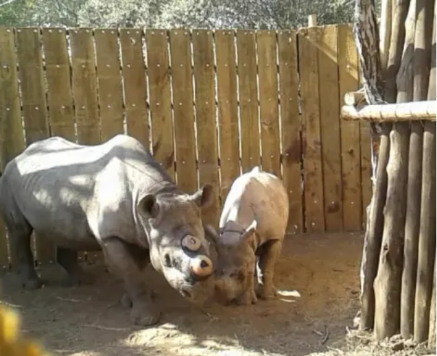 A black rhino mother reunites and bonds with her calf after their 700 km trip in separate crates, and after dehorning.