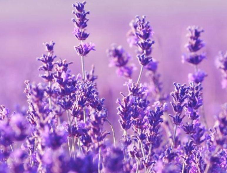 Lavender is Effective Mosquito Repellent Plants