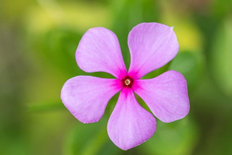 This is how ornamental plants Madagascar Periwinkle look a like