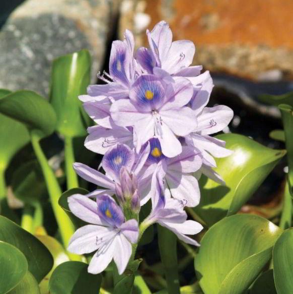 Water hyacinth plant