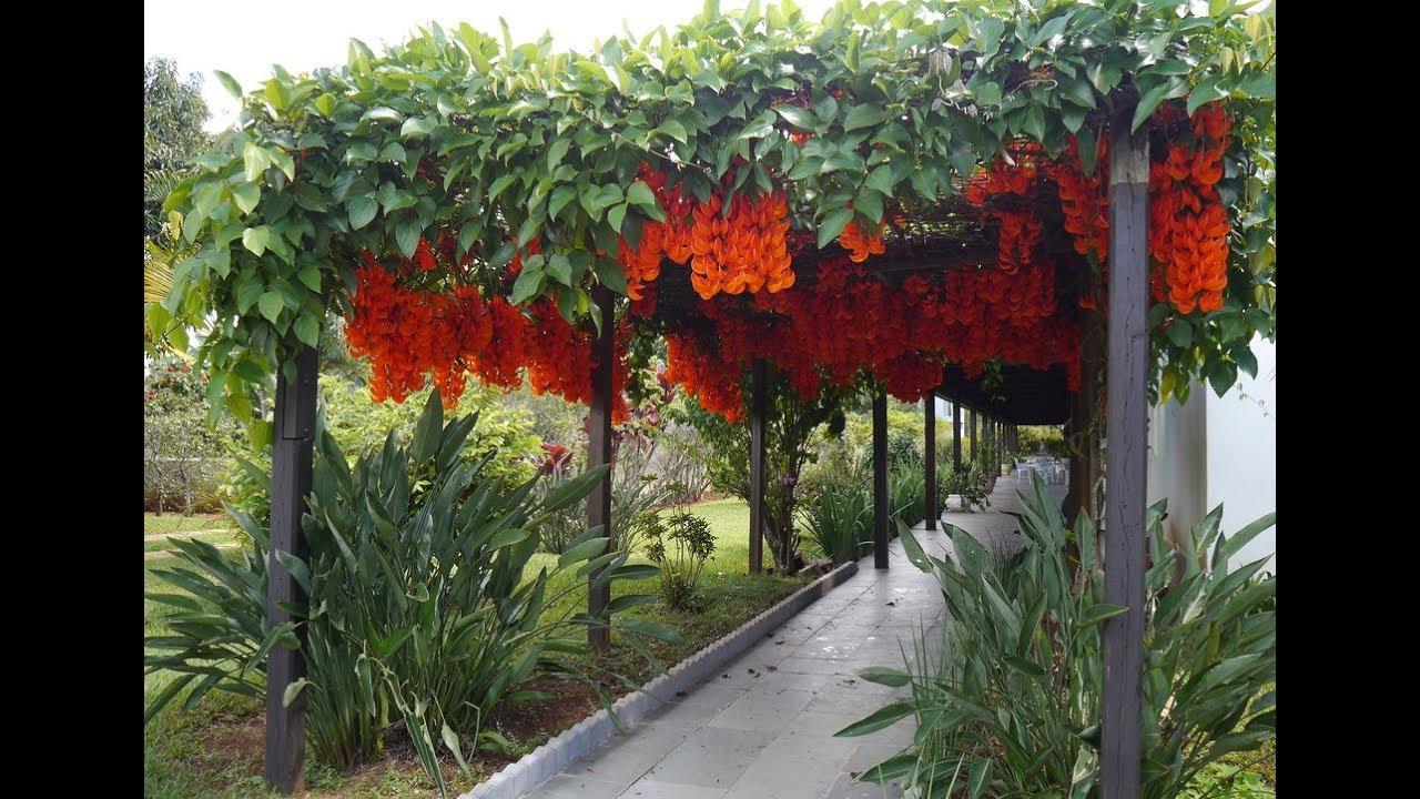 flame of irian vines