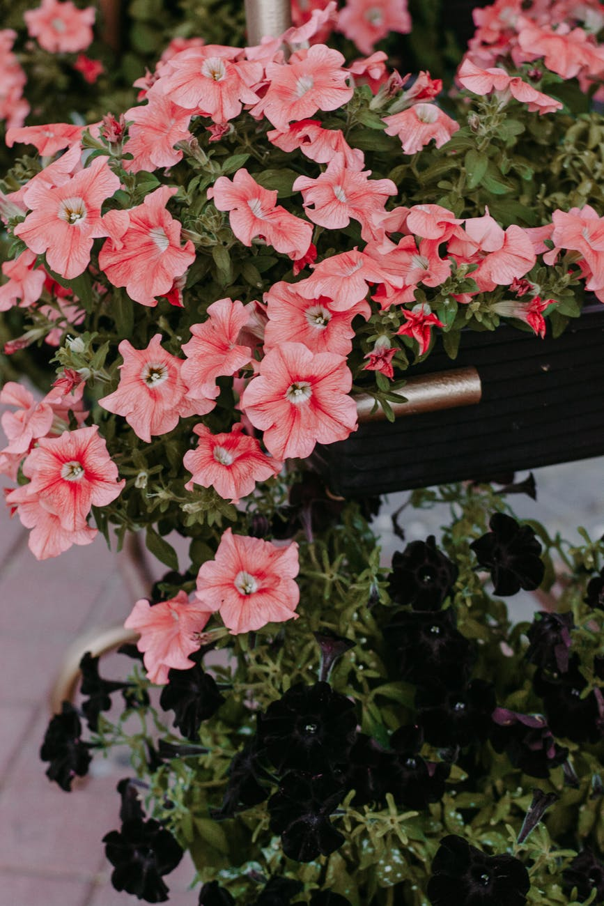 close up photo of pink petunia flowers