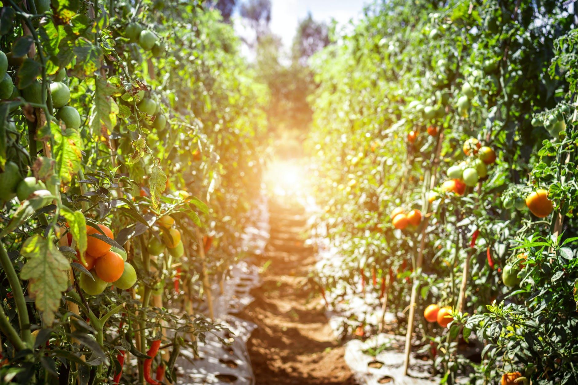 pruning tomatos stem