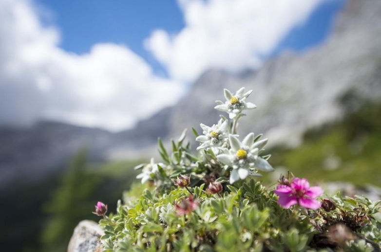 Characteristics of Edelweiss Flower
