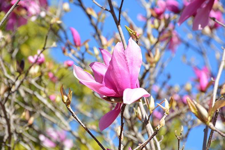 Characteristics of Magnolia Flower