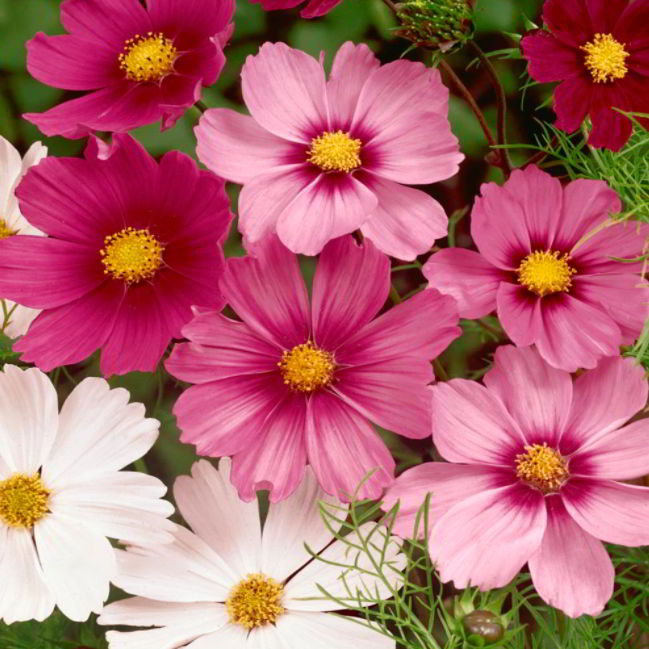 Cosmos Flower Meaning in Live