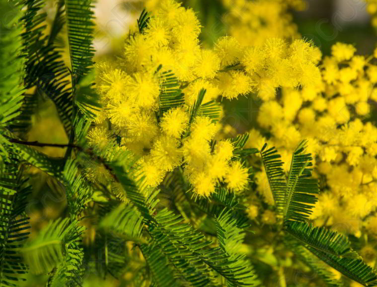 Everything You Want to Know about Mimosa