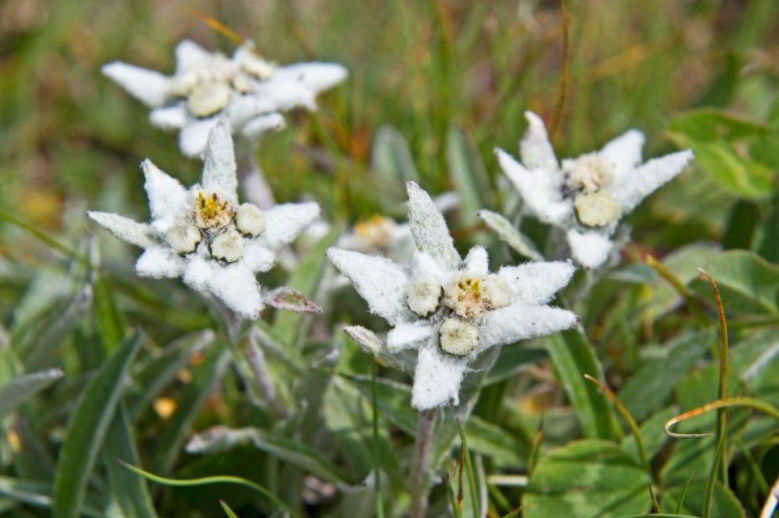 Edelweiss Name Meaning