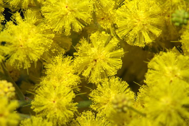 History of Giving Mimosa Flowers