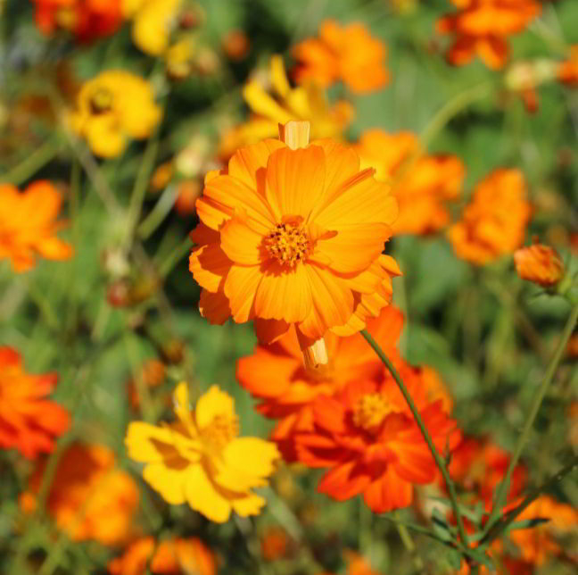 History of Cosmos Flower