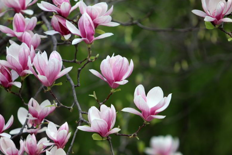 Magnolia Flower Meaning in A Dream